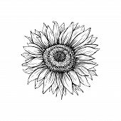 Sunflower Hand Drawn Vector Illustration. Floral Ink Pen Sketch. Black And White Clipart. Realistic  poster