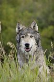 picture of north american gray wolf  - Male Wolf sits in the long grass in Montana - JPG