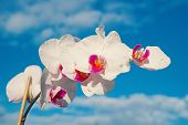 Flower With Fresh Blossom On Blue Sky. Blossoming Orchid With White Petals On Sunny Day. Beauty Of N poster