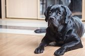 Black Labrador Retriever Lying On The Floor Facing The Camera. poster