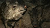 stock photo of javelina  - Two peccaries also known as javelinas the wild pigs of the American desert - JPG