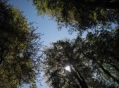 Sunflare Through Three Green Leafy Trees In Woodland, With Blue Sky poster