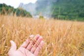 Rice In Hand. Closeup Of Yellow Paddy Rice Field With Golden Sun Rising In Autumn. Royalty High-qual poster