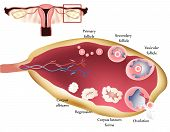 stock photo of ovary  - Female reproductive system - JPG