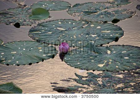 lila Lotus Flower nach Abend Regen