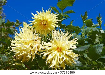 Three Yellow Dahlias In The Flowerbed