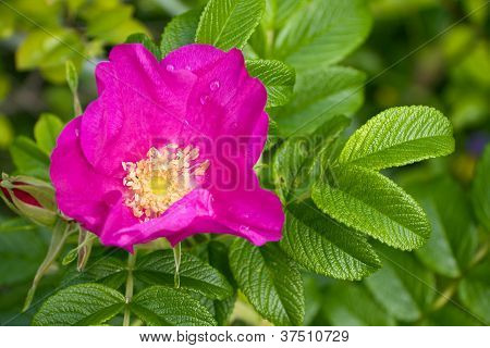 Rosy Brier Or Dog-rose Blossom And Green Leafs