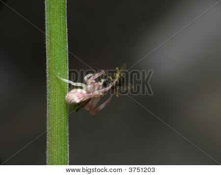 Spider Predator