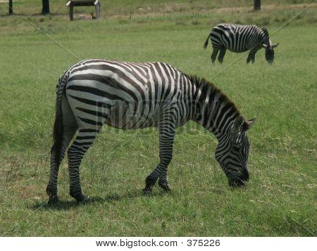 Grants Zebra4