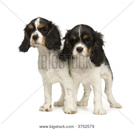 Puppies Cavalier King Charles Spaniel