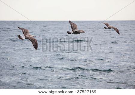 Flock Of Three Seagulls