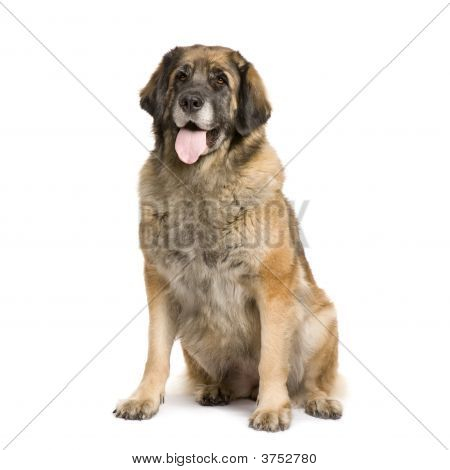 Leonberger (3 Years)