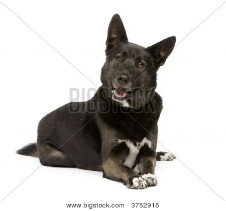 Mixed Breed Dog Between German Sheperd And Husky