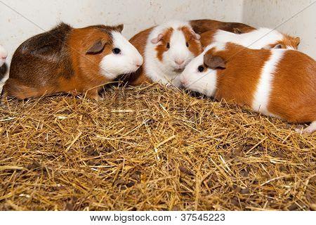 Guinea Pigs In Terrarium