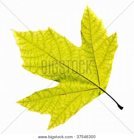 Platanus Leaf Isolated