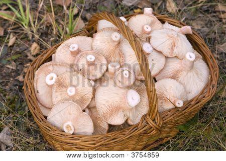 Basket, Full Of Mushrooms( Lactarius Torminosus)