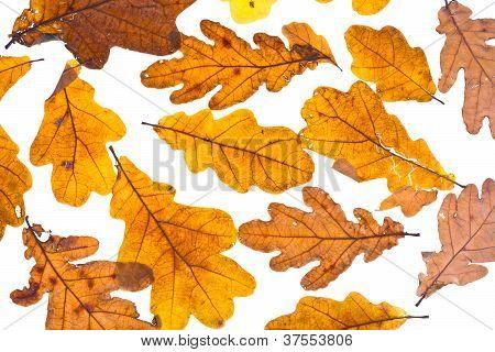 Dried Autumn Oak Leaves