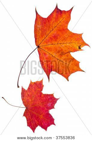 Two Autumn Red Maple Leaves