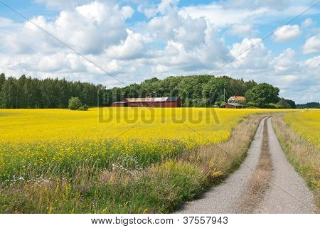 Country Road In Yellow Meadow