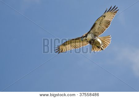 Immature Red Tailed Hawk Kiting In A Blue Sky