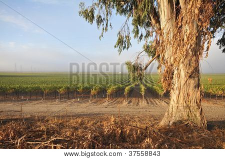 Rows Of Wine Grapes By Eucalyptus Tree