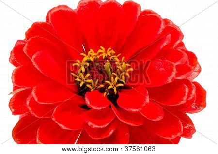 Red Zinnia Violacea Flower Isolated On White