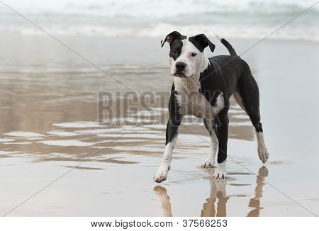 Pitbull on the beach