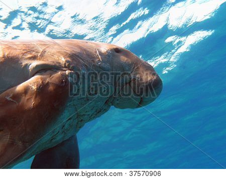 dugong known as sea cow in red sea in egipt