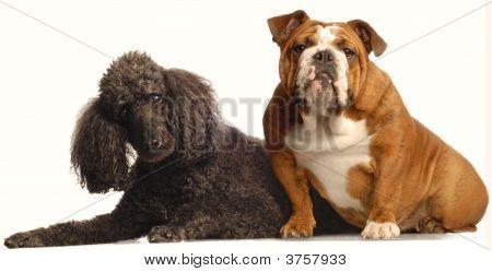 English Bulldog And Standard Poodle