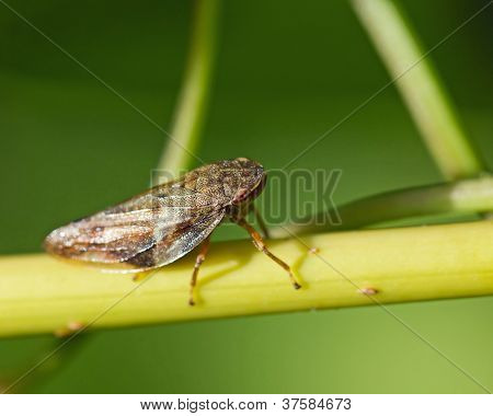 Froghopper On Stem