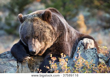 Grizzly Bear zoekt larven onder rots
