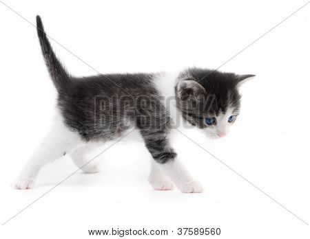 Black White Kitten