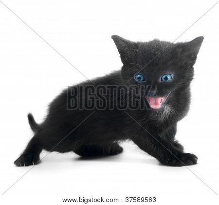 Black Kiten Isolated