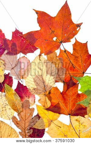 Many Dried Motley Autumn Leaves