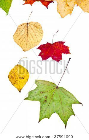 Deciduous Birch Aspen Maple And Many Autumn Leaves
