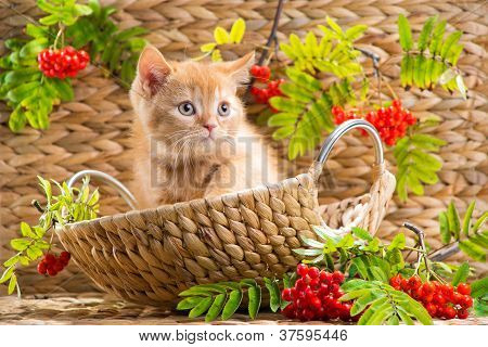 British Kitten Sitting In A Basket With Mountain Ash