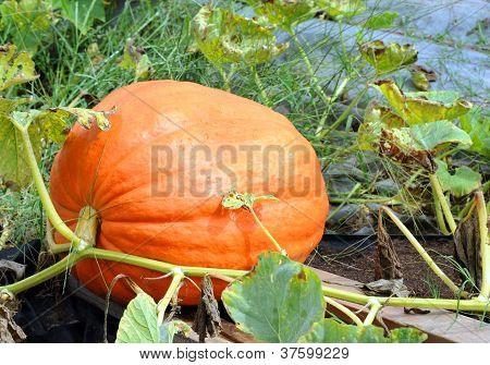Extra Large Pumpkin