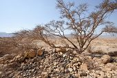 stock photo of samaria  - Dry Tree in Sand Hills of Samaria Israel - JPG