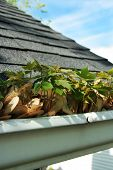 stock photo of downspouts  - Maple seeds growing out of home gutter  - JPG