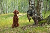 stock photo of snipe  - Gun dog near to shot - JPG