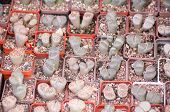 picture of sand lilies  - A group of different succulents in pots - JPG