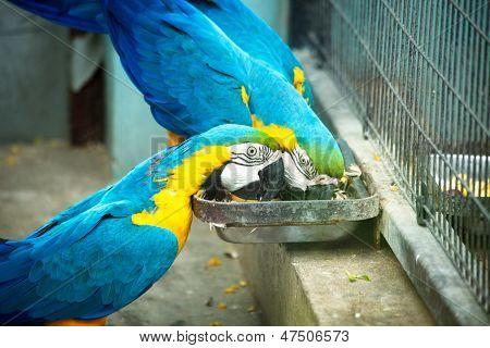 Big blue parrots
