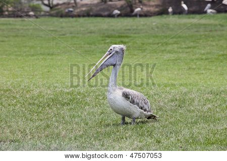 Pelican Bird On Green Grass Field