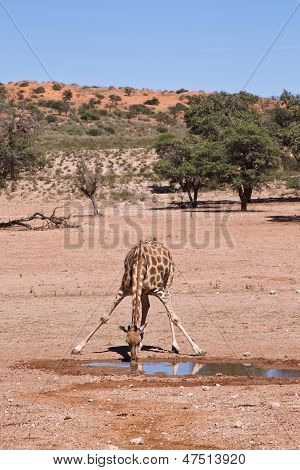 One Giraffe Drinking Water In The Desert Dry Landscape