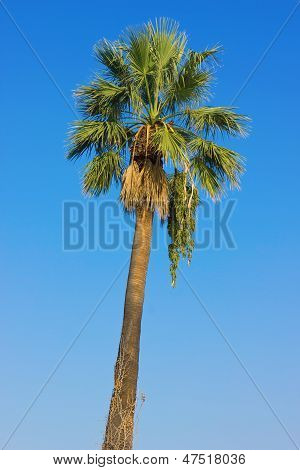 Palm Tree Over Clear Blue Sky