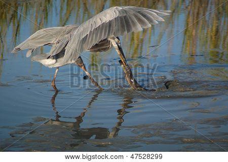 Heron Catching American Eel