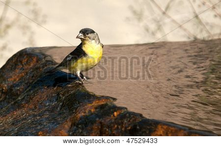 Lesser Goldfinch On Fountain