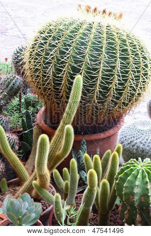 Succulents And Cactus With Very Sharp Prickles And Thorns Of The Cactus Desert Plants