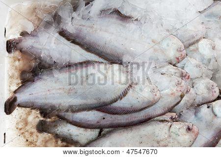 Fresh Row Solea Fish