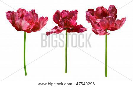 Collection Of Tulips, Isolated On White Background